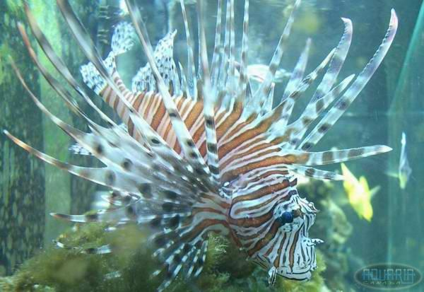 633new_baby_lionfish