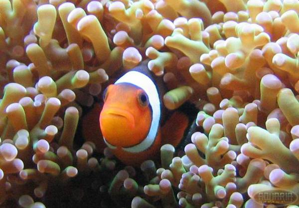 Another pic of my clown fish