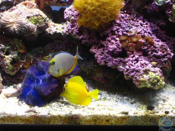 Maximus_Clam_Naso_Yellow_Tangs
